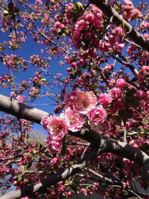 crabapple  flowers  spring