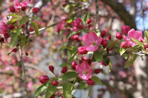 crabapple pink tree