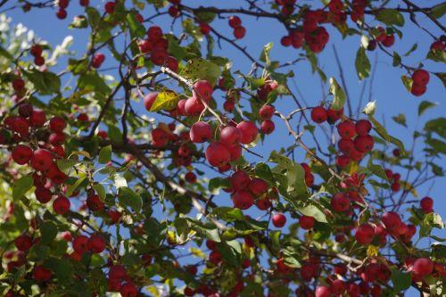 crabapple tree red