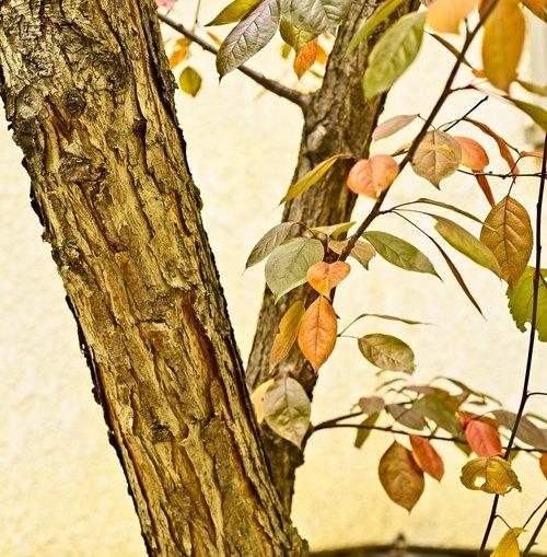 crabapple tree  tree  crabapple