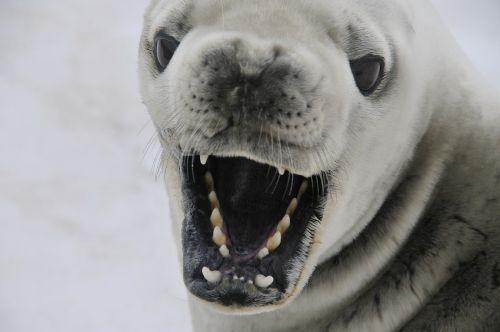 crabeater seal seal mammal