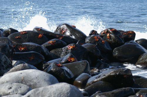crabs galapagos island