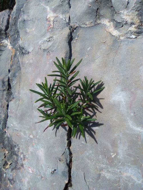 crack rosemary survival