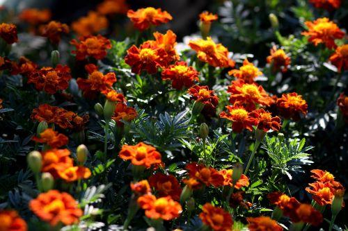 craita garnet-red flower