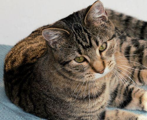 crampon cat tomcat