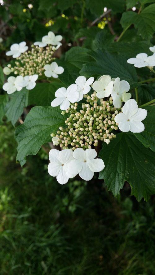 cranberry blossom flower