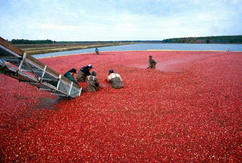 cranberry harvest red