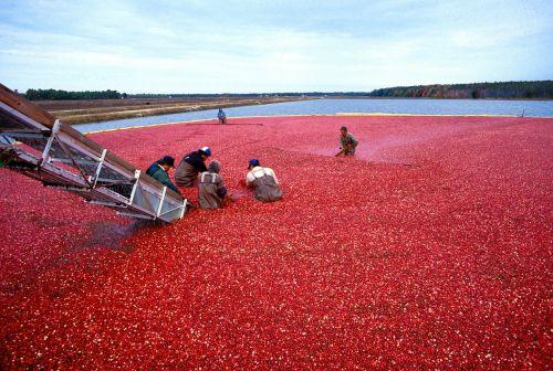 cranberry berries cranberries