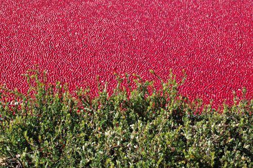 cranberry bog cranberry healthy