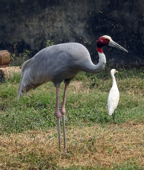 crane sarus bird