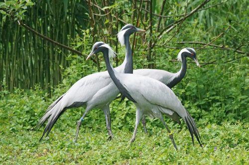 crane white neck crane bird