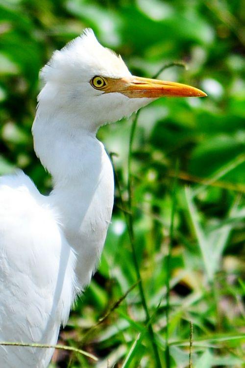 crane white heron beak