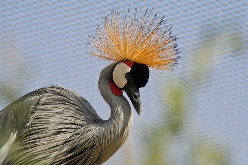 crane  bird  crowned