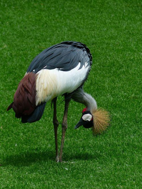 crane bird bend over