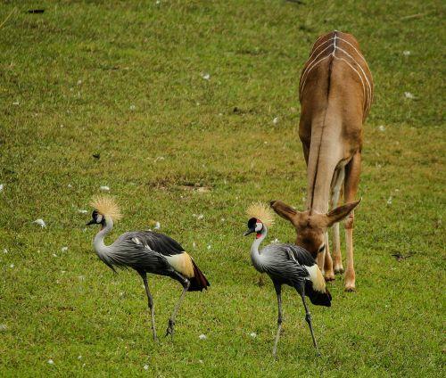crane east african crowned crane grey crowned crane