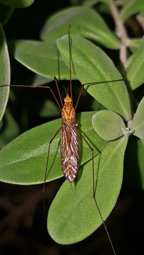crane fly mosquito eater insect