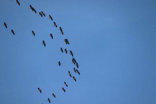 cranes  migratory birds  spring