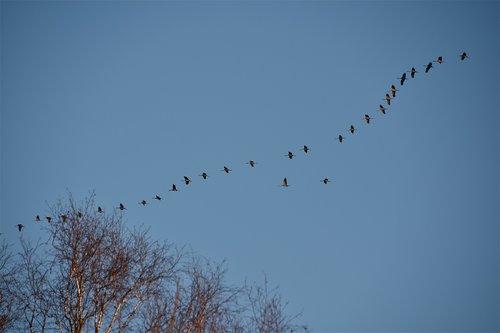cranes  birds  sky