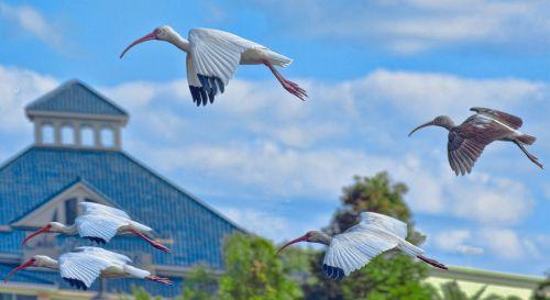 cranes birds flying