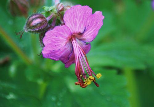 cranebill,žiedas,žydėti,žydėti,sodas,violetinė,makro,gėlė,augalas,Uždaryti,gamta,gėlės,žiedadulkės,spalva,flora,bičių žiedadulkės,žiedlapiai,žiedlapis,makro nuotrauka,botanika,pavasaris,pavasario gėlė,pistil