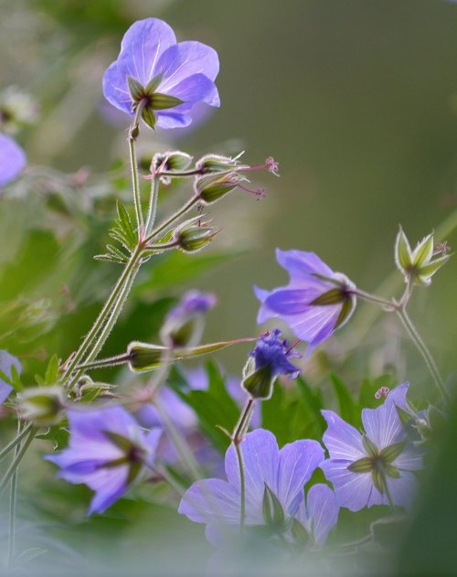 cranesbill  flowers  shrub