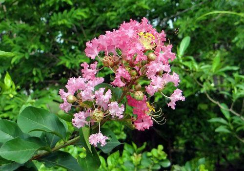 crape myrtle flower pink