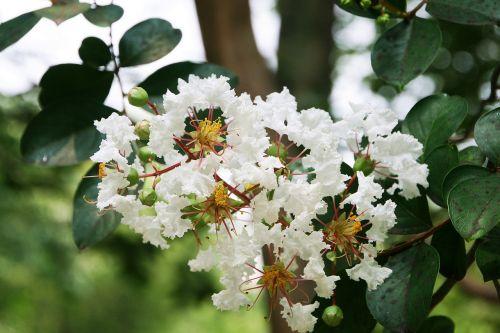 crape myrtle trees lagerstroemia indica white crape myrtle trees