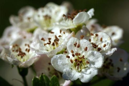 crataegus flower macro