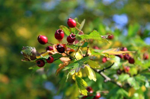 crataegus bush autumn