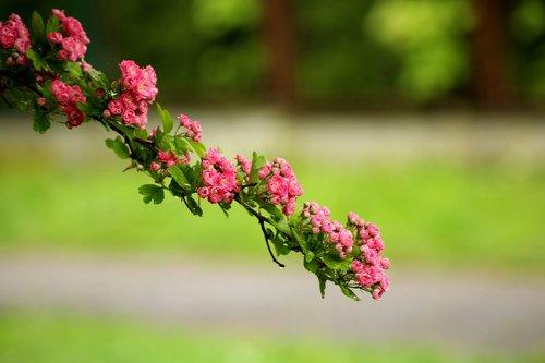 crataegus  tree  flowering