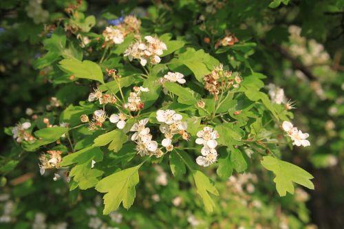 crataegus flowers hawthorn