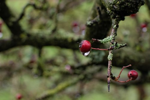 crategus  hawthorn  quickthorn