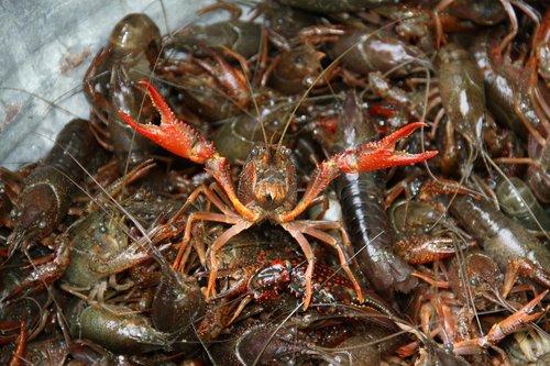 crawfish  boil  crayfish