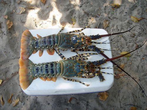 crawfish crustacean sea