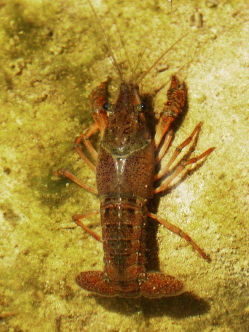 crayfish american crab invasive species