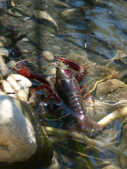 crayfish american crab plague