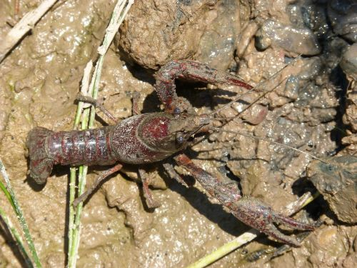 crayfish mud american crab