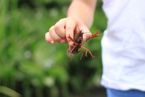 crayfish summer japan