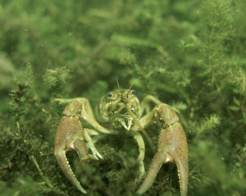 crayfish underwater landscapes
