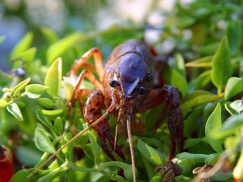 crayfish crawdads crawfish