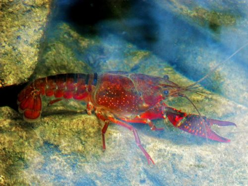 crayfish american crab river