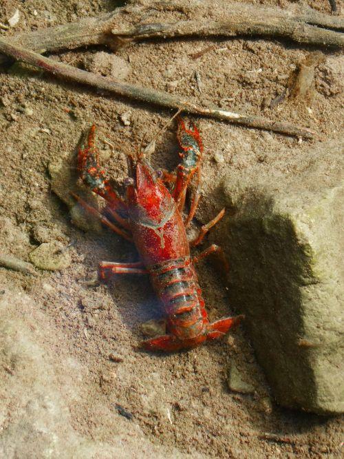 crayfish american crab red