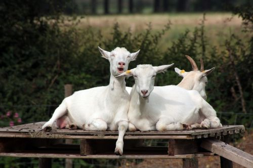 crazy goats goats humor