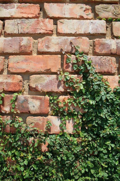 Creeper On Brick Wall