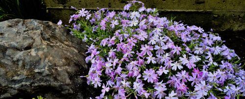 creeping phlox flowers phlox