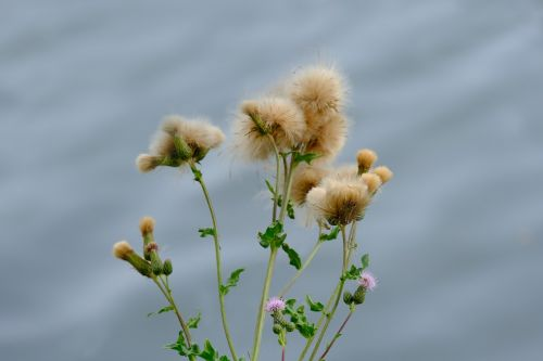 creeping thistle plant wild