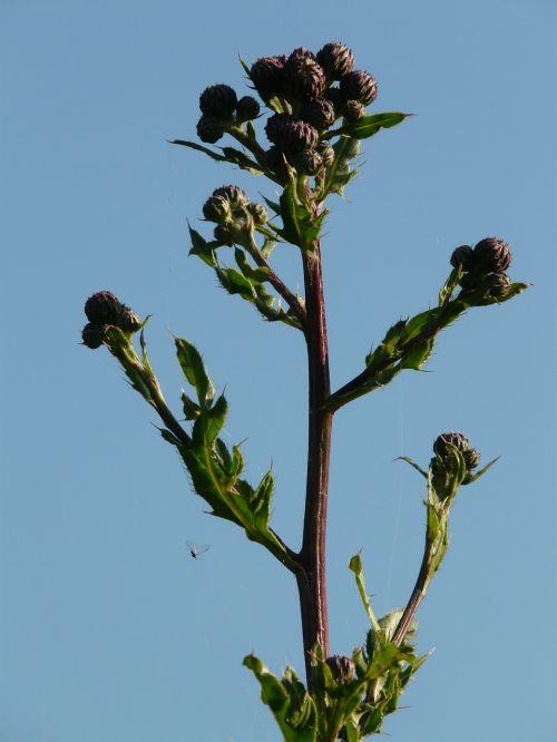 creeping thistle acker thistle cirsium arvense