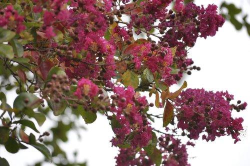crepe myrtle  pink  flower