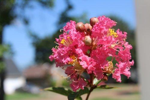 crepe myrtle  flowers  pink