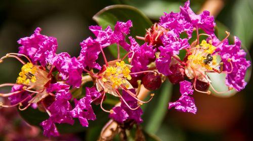 crepe myrtle flowers blooms